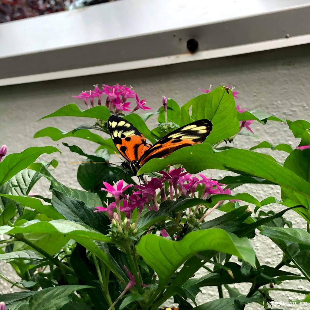Butterfly in the conservatory of Key West.