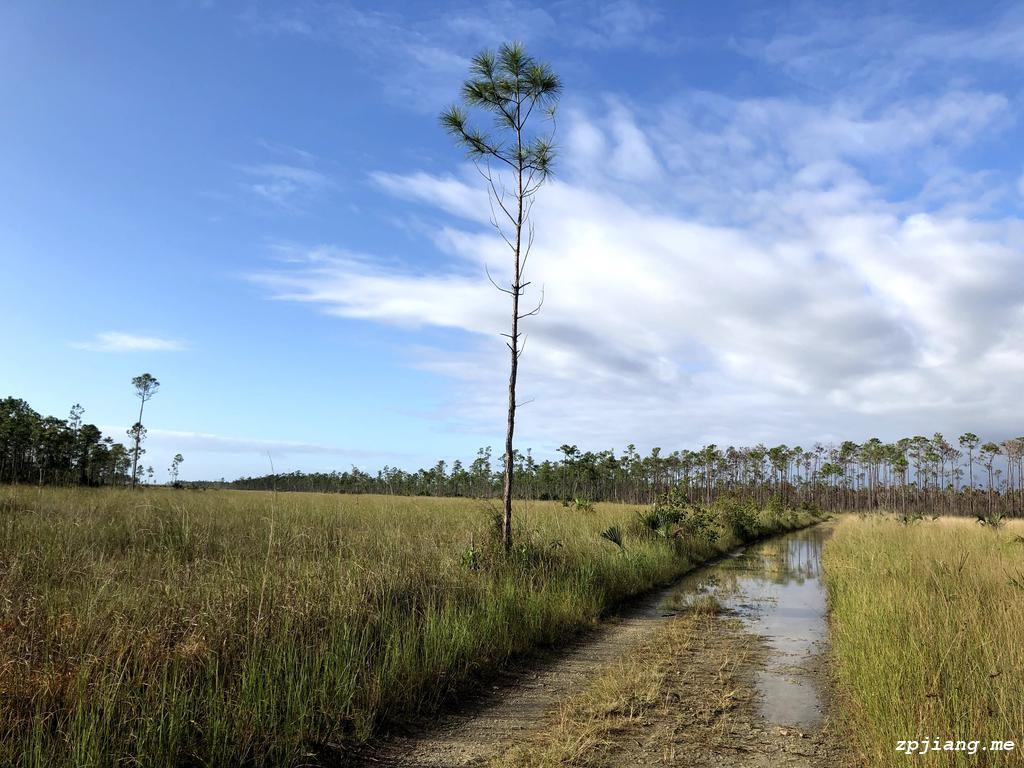 Long pine in Everglades National Park.