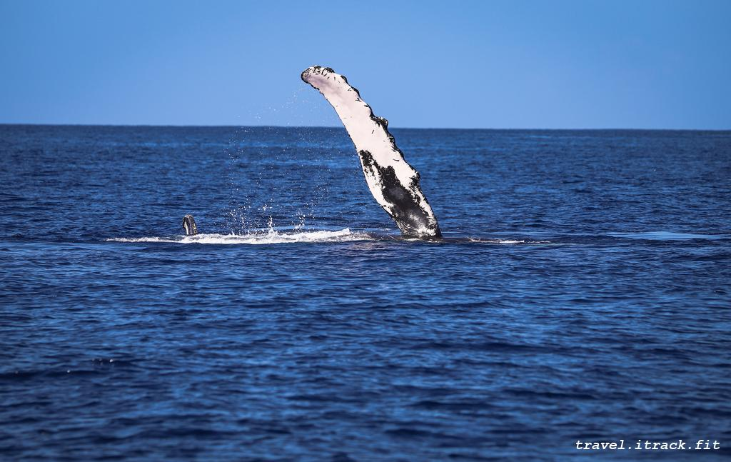 Whale in Maui
