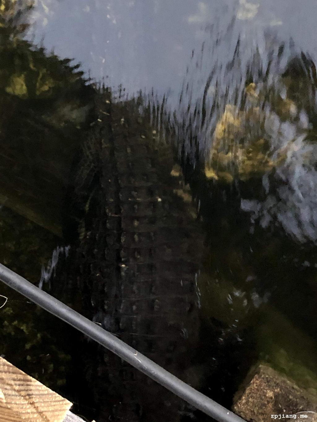 Alligator hidden under bridge
