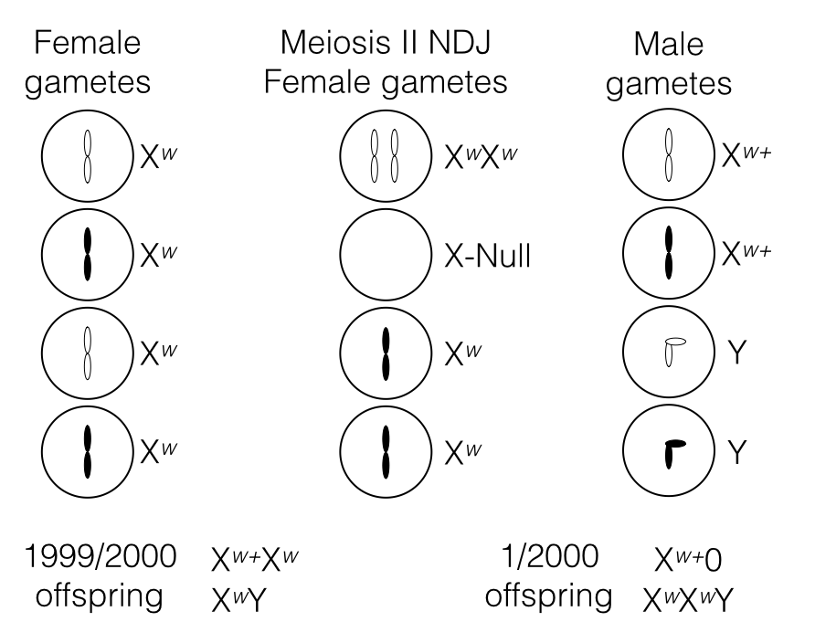 Chromosome theory, mitosis, and meiosis · AndersenLab/Genetic ...