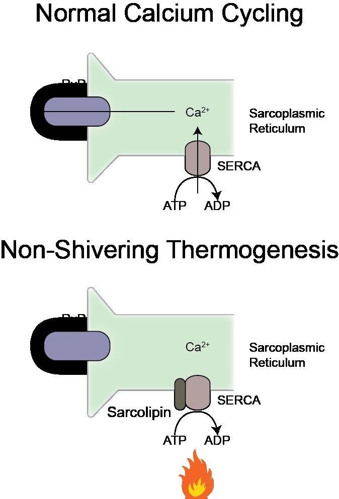 Sarcolipin Schematic