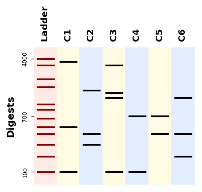 https://raw.githubusercontent.com/Edinburgh-Genome-Foundry/BandWagon/master/examples/simple_band_patterns.png