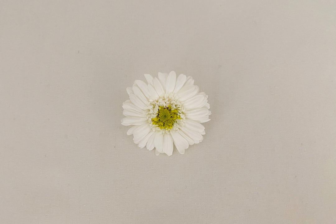 barrette lily
