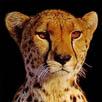 Python.Cheetah icon