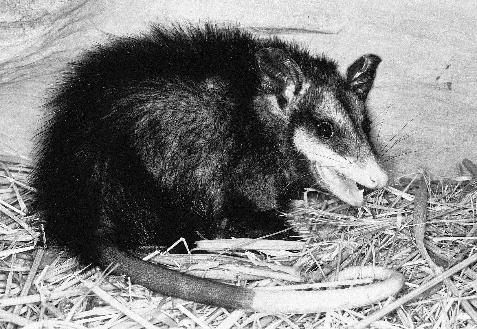 Black Phase Virginia Opossum