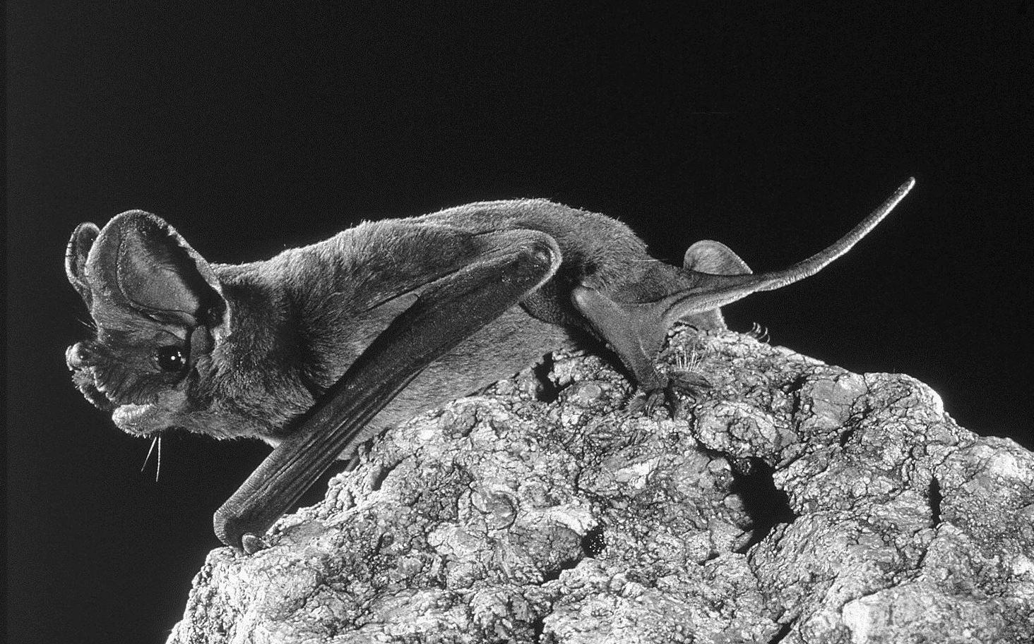 Nyctinomops femorosaccus