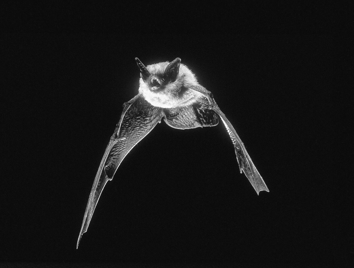 Myotis californicus