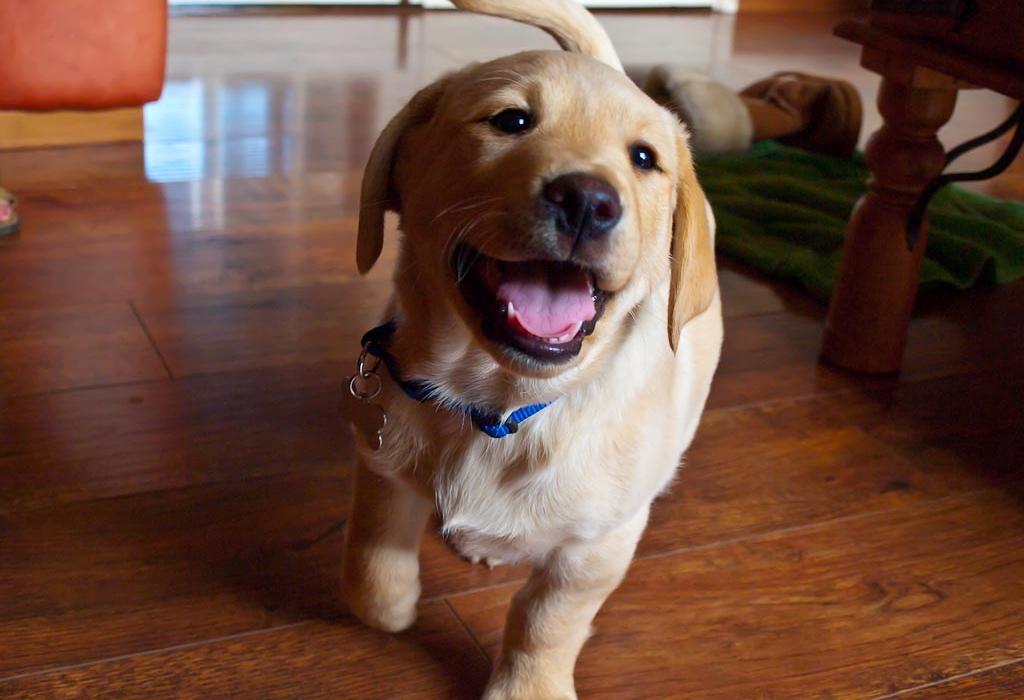 A labrador looking mega excited!
