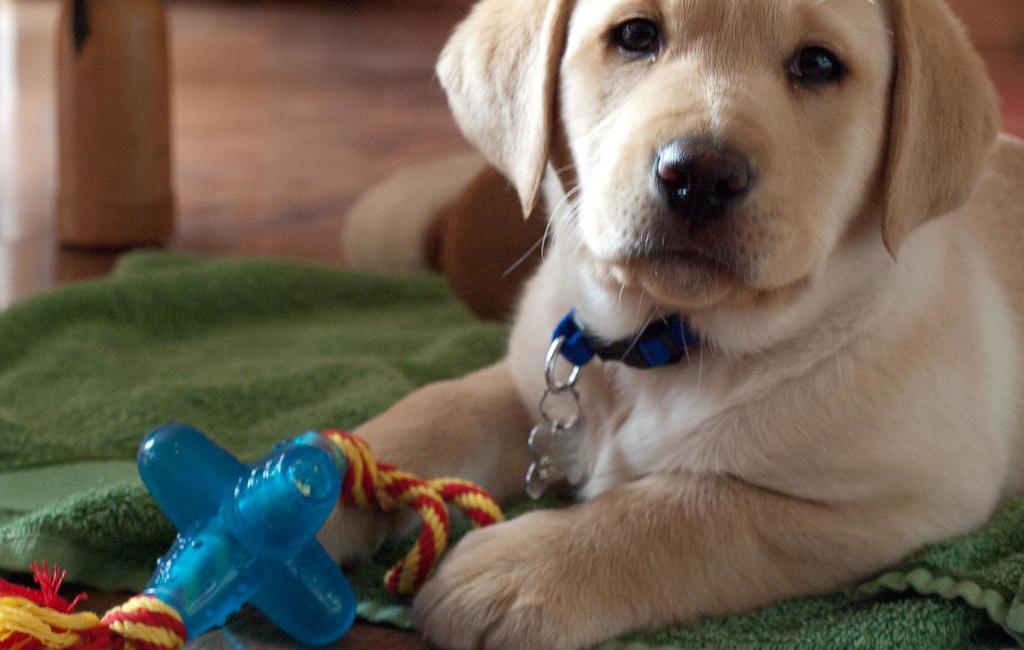 A photo of a labrador puppy