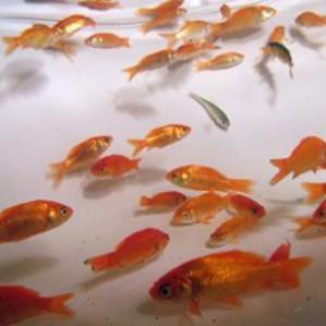 goldfish_299x299.jpg