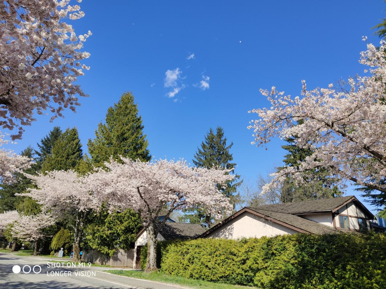 Beautiful Sakura 1
