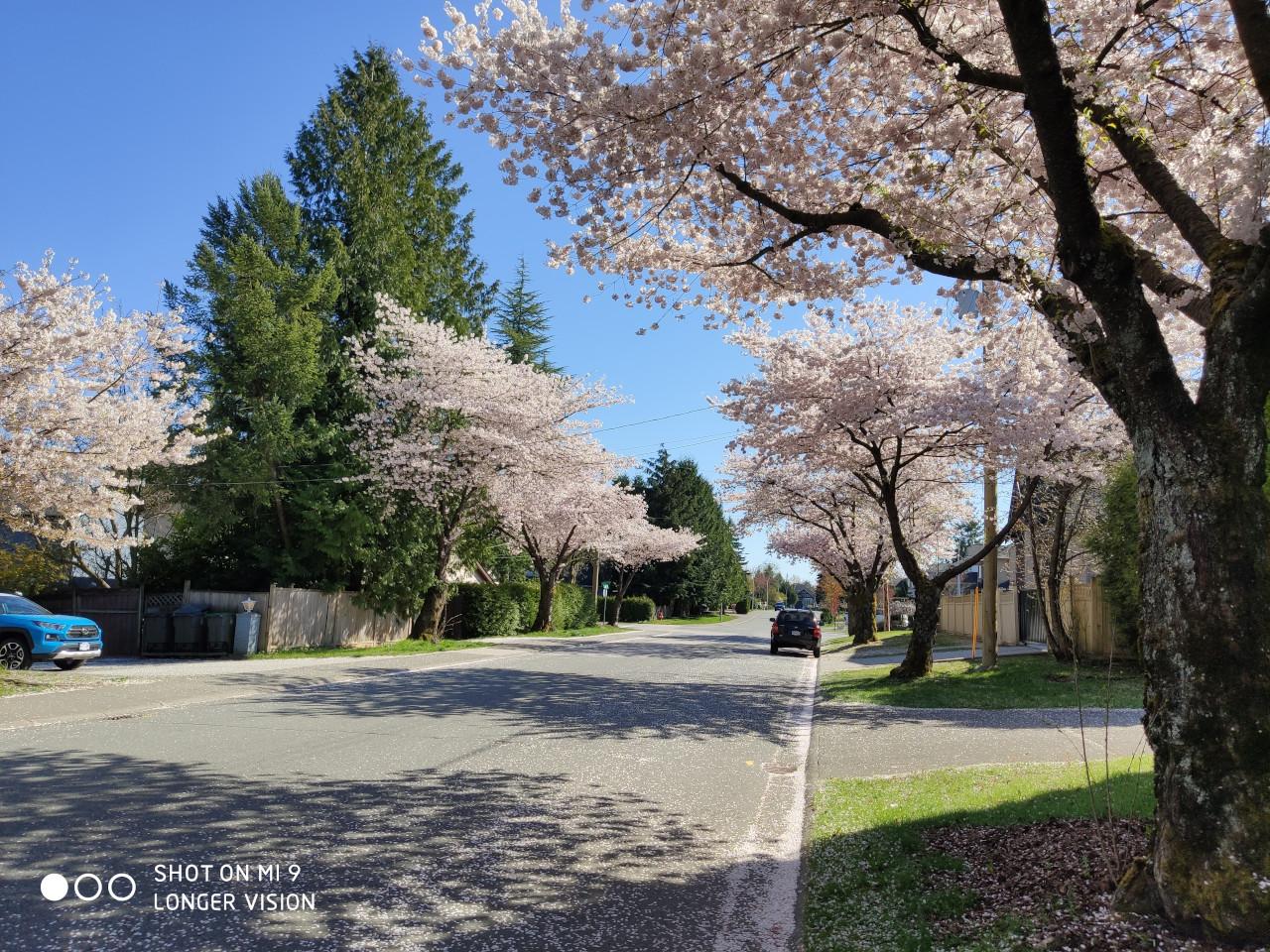 Beautiful Sakura 3