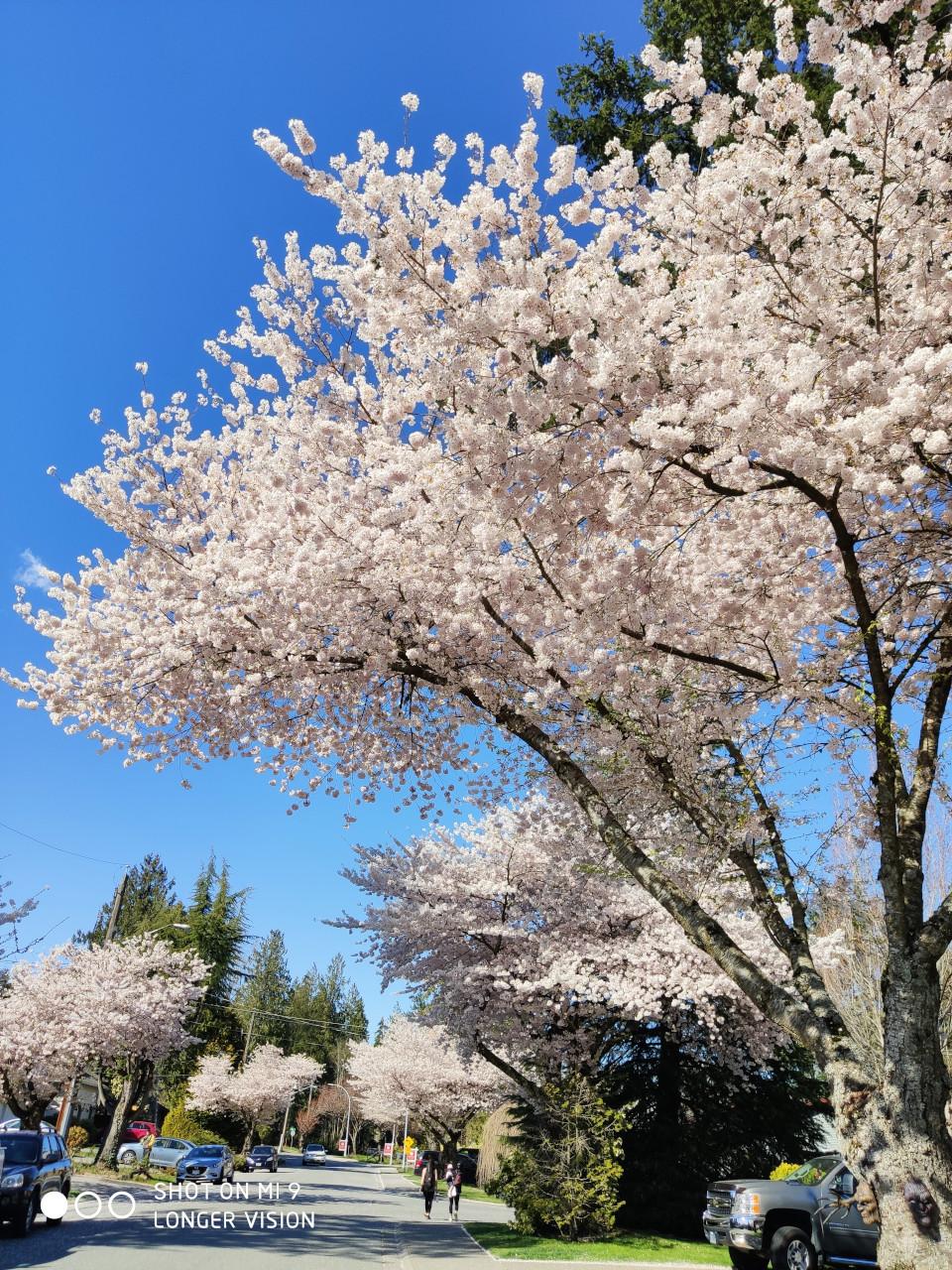 Beautiful Sakura 4