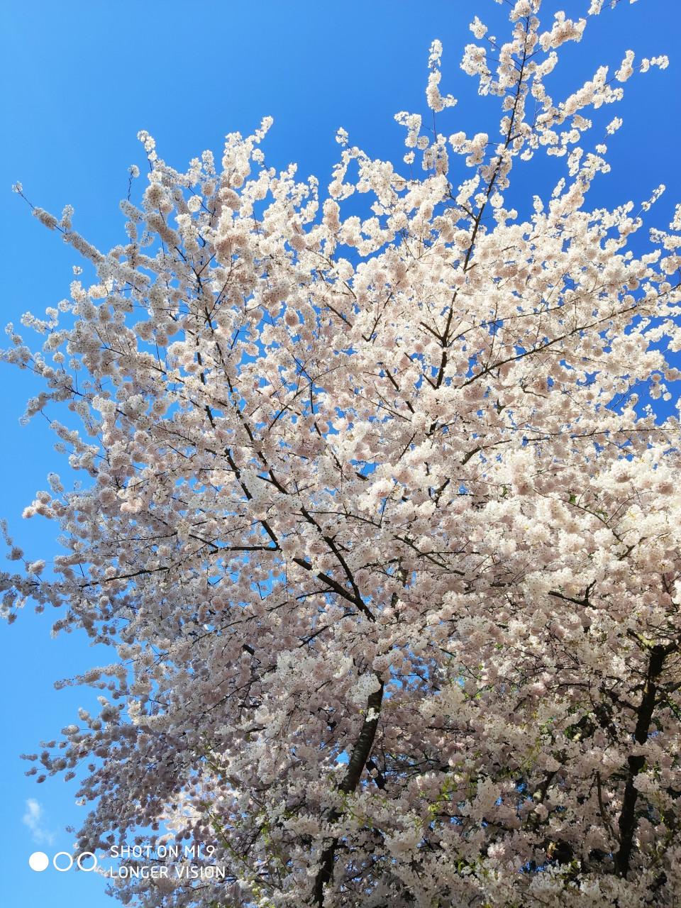 Beautiful Sakura 5