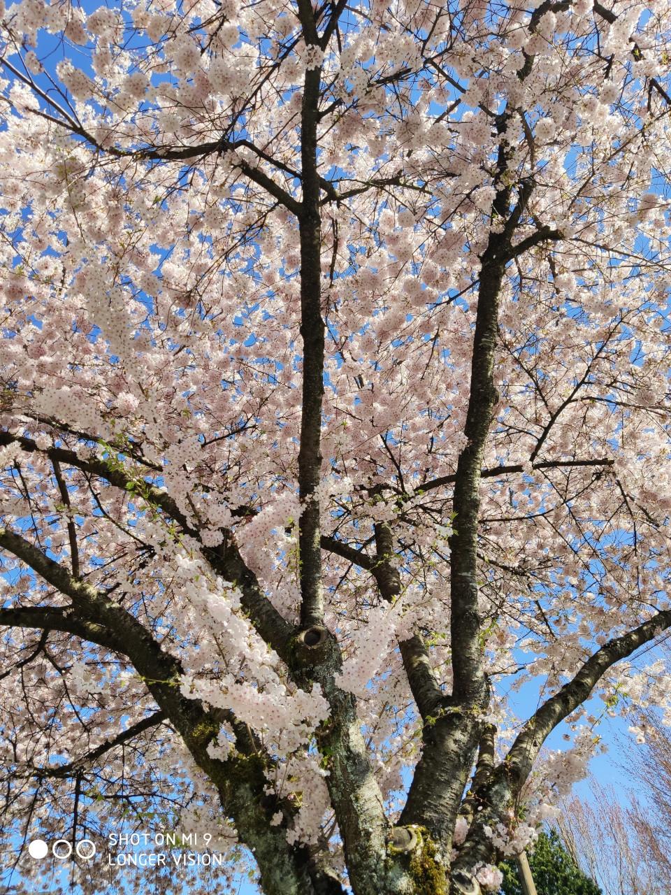 Beautiful Sakura 6