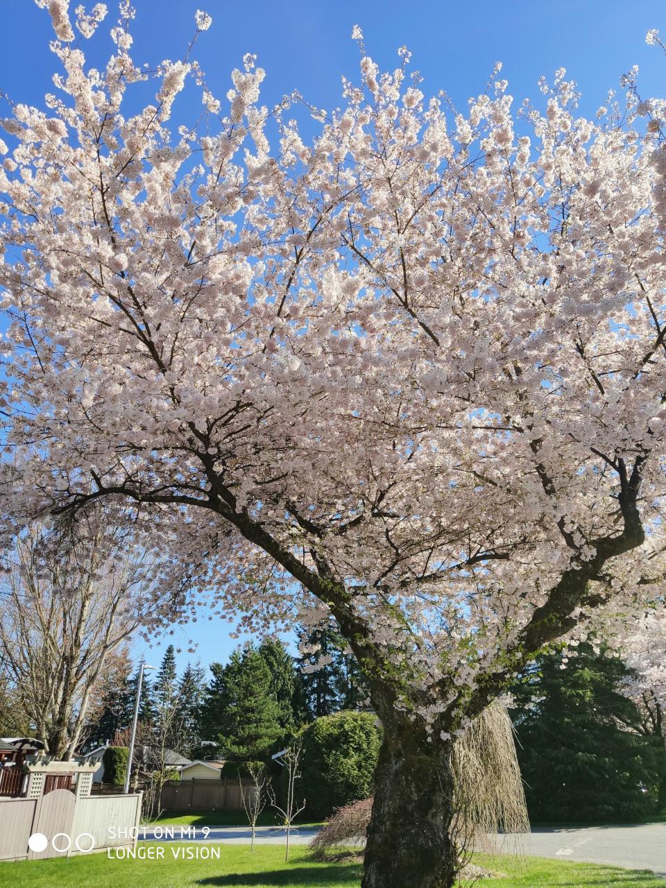 Beautiful Sakura 7