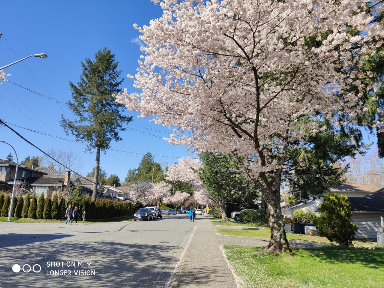 Beautiful Sakura 8