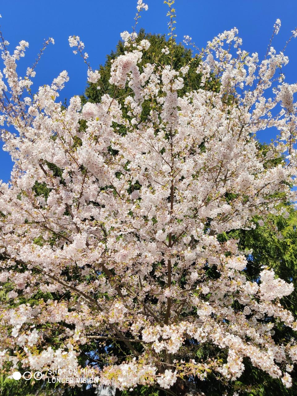 Beautiful Sakura 9