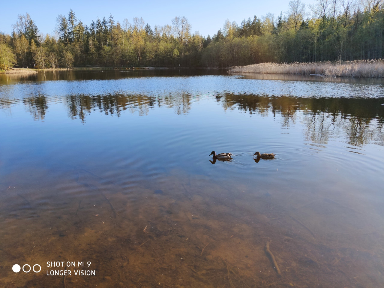 A Pair of Ducks In The Lake