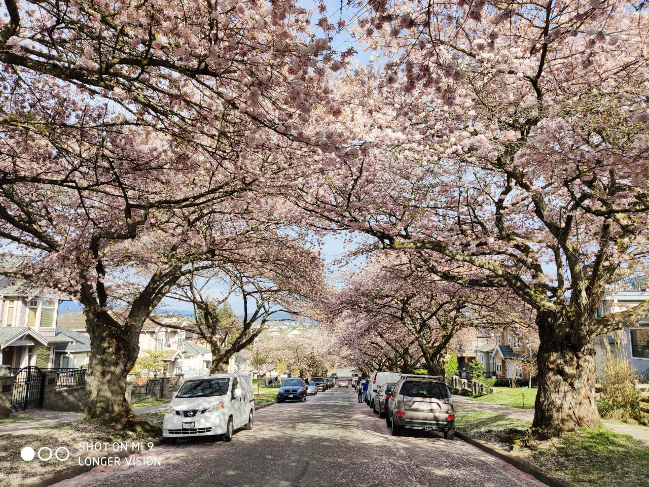 Beautiful Sakura 2