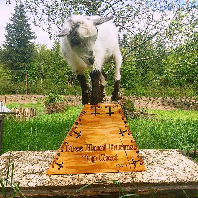 goat on top from front