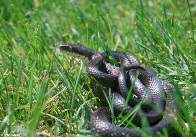Black Ratsnake in Grass