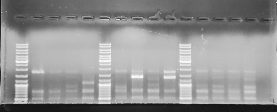Gel image from first PCR with too many bands; also ran target bands off gel