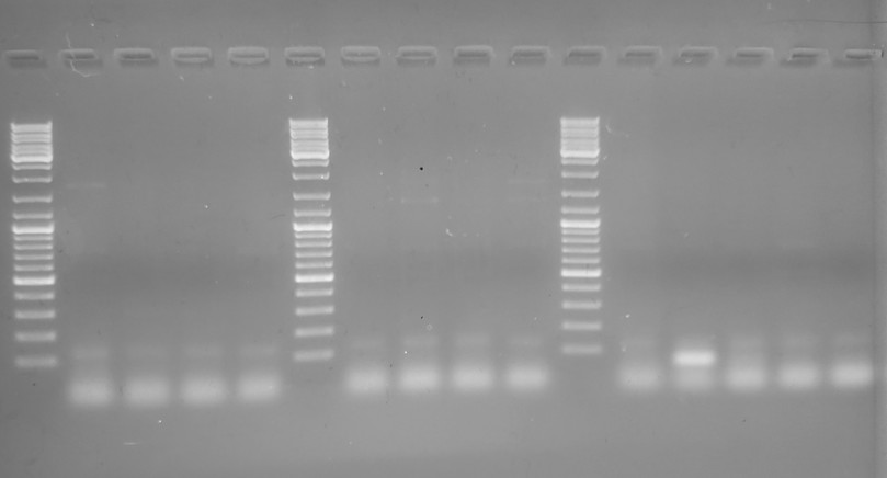 Gel image from 2nd PCR with anneal temp of 55C, showing no bands