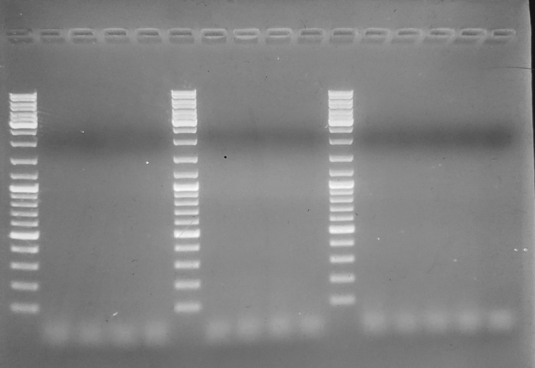 Gel image from C.gigas-specific primers