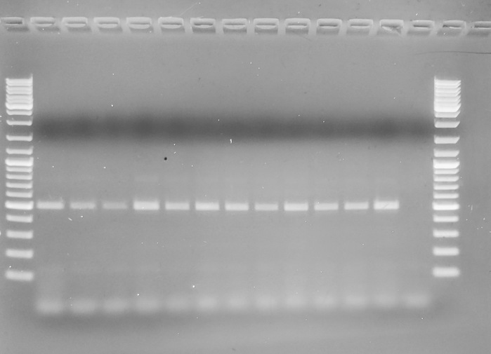 Gel image from Crassostrea species primers