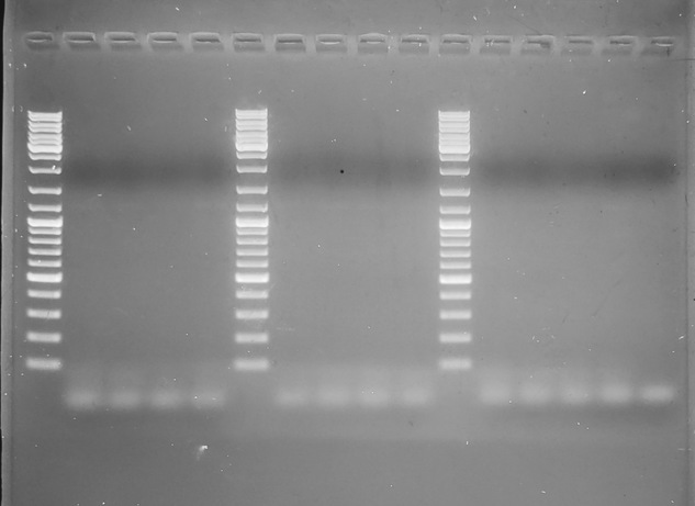 Gel image from C.sikamea-specific primers