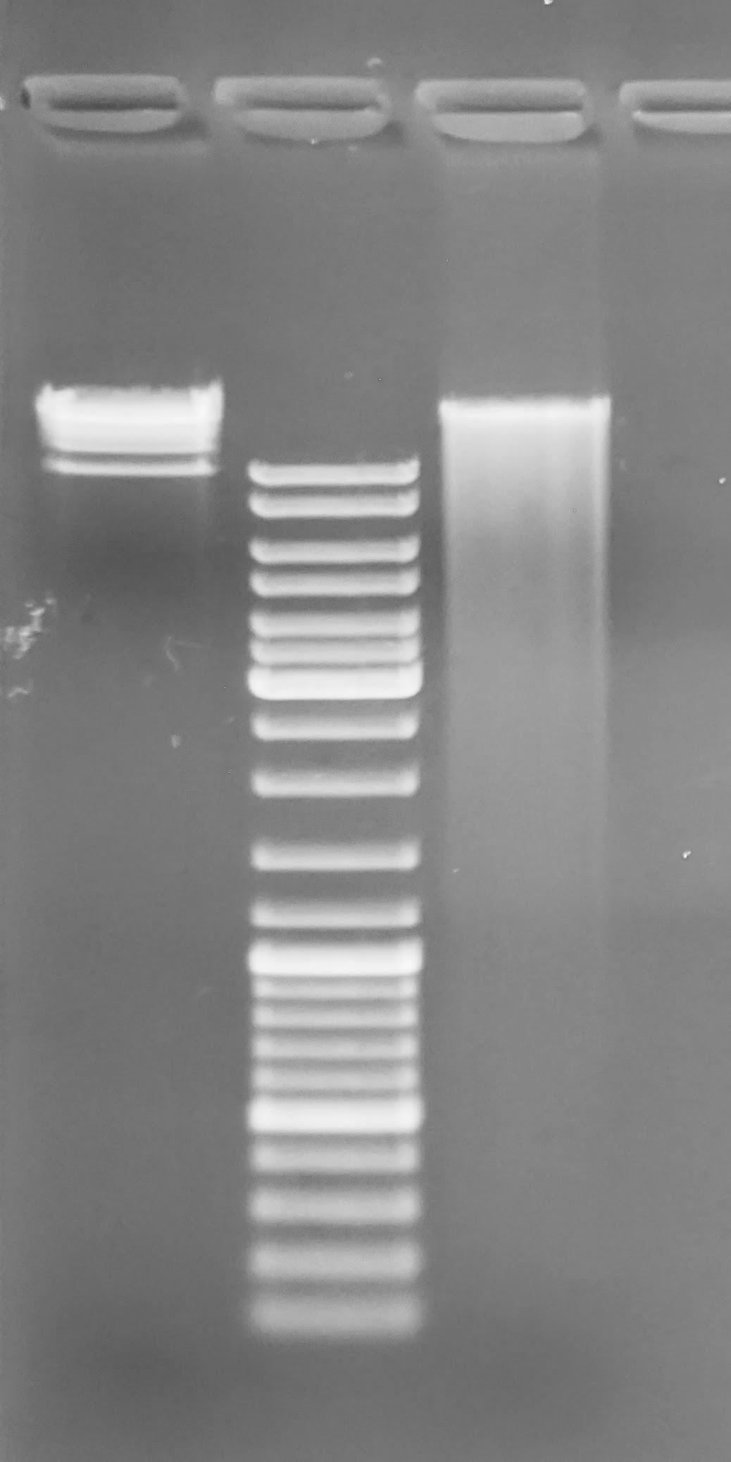 gel image of C.bairdi 6129_403_26 gDNA