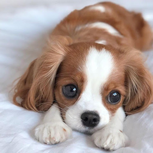 A Blenheim spaniel puppy lying down on a white comforter. Photo by GDragon612 on Fanpop