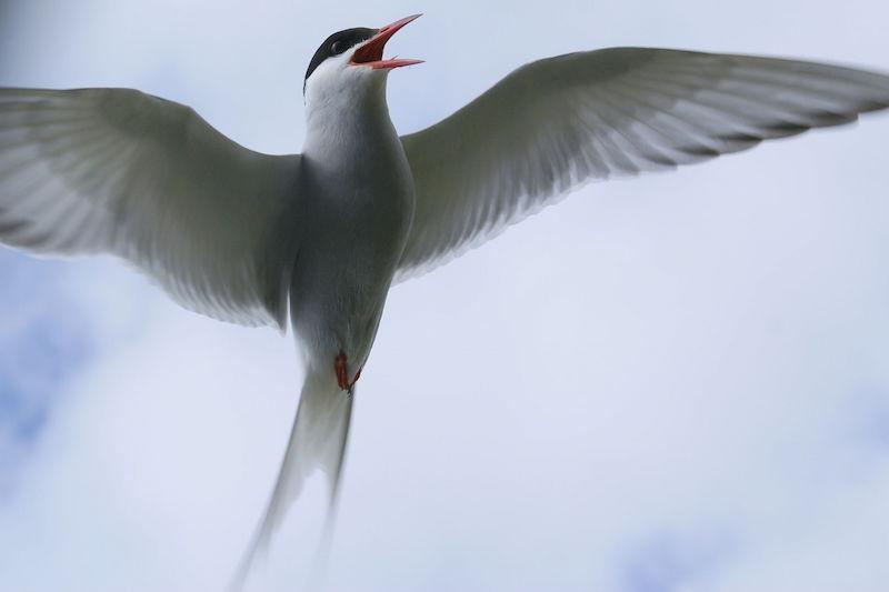 Arctic Tern by OddurBen