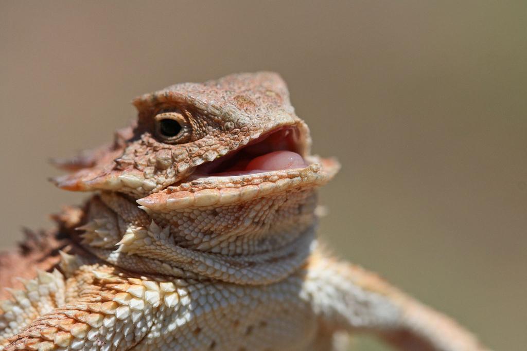 Heh heh heh lizard