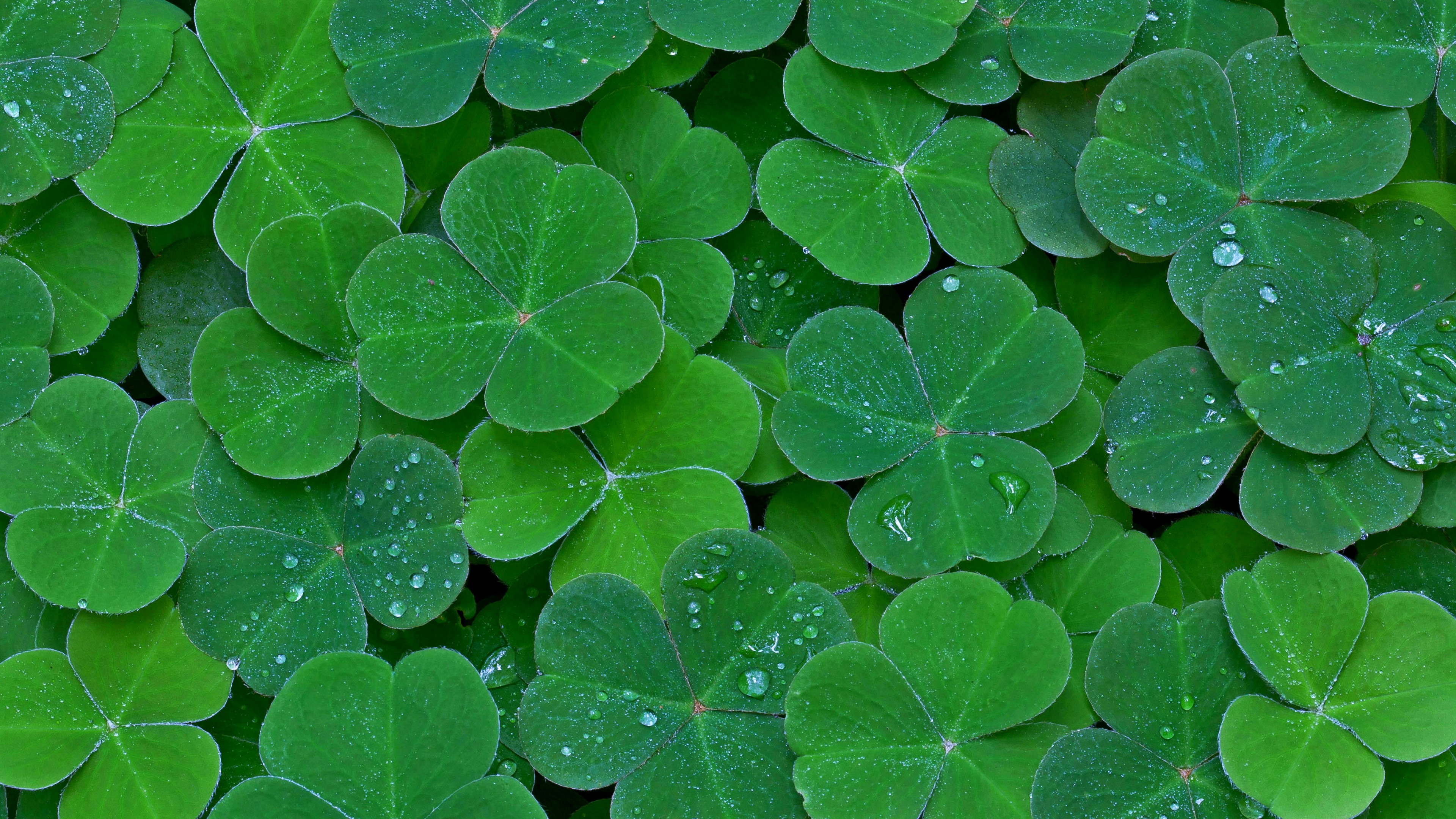 Relaxing HD Wallpapers - Minimal Clover Wallpaper