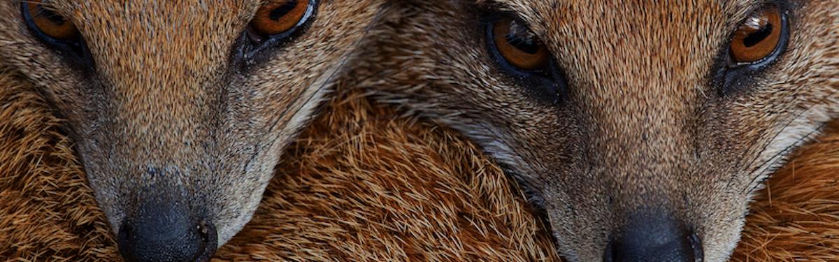 MongooseIM platform's mongooses faces