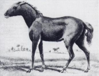 Picture of Tarpan
