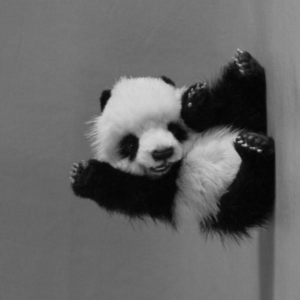 Завъртяна на ляво черно-бяла панда