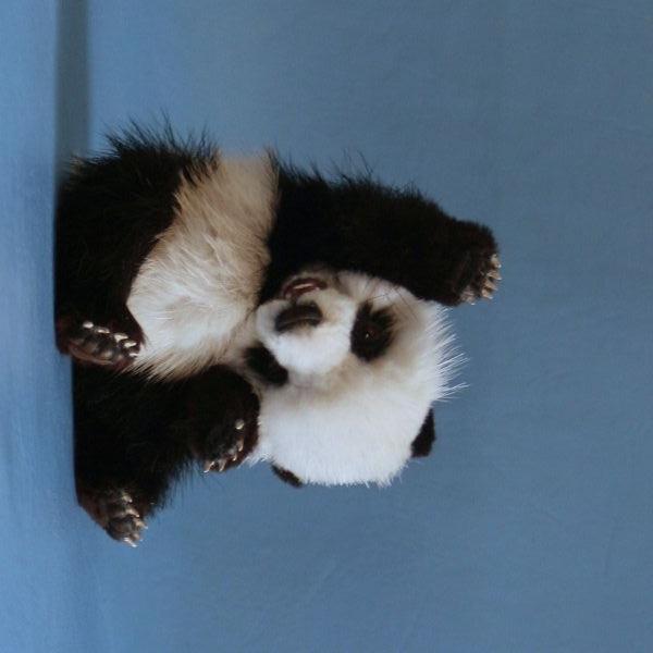 Завъртяна на дясно панда