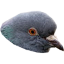 ShroudPigeon