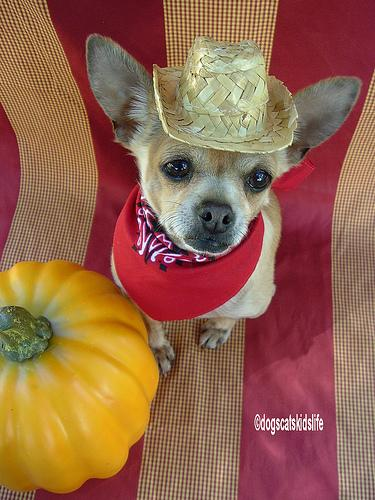 Chihuahua with hat