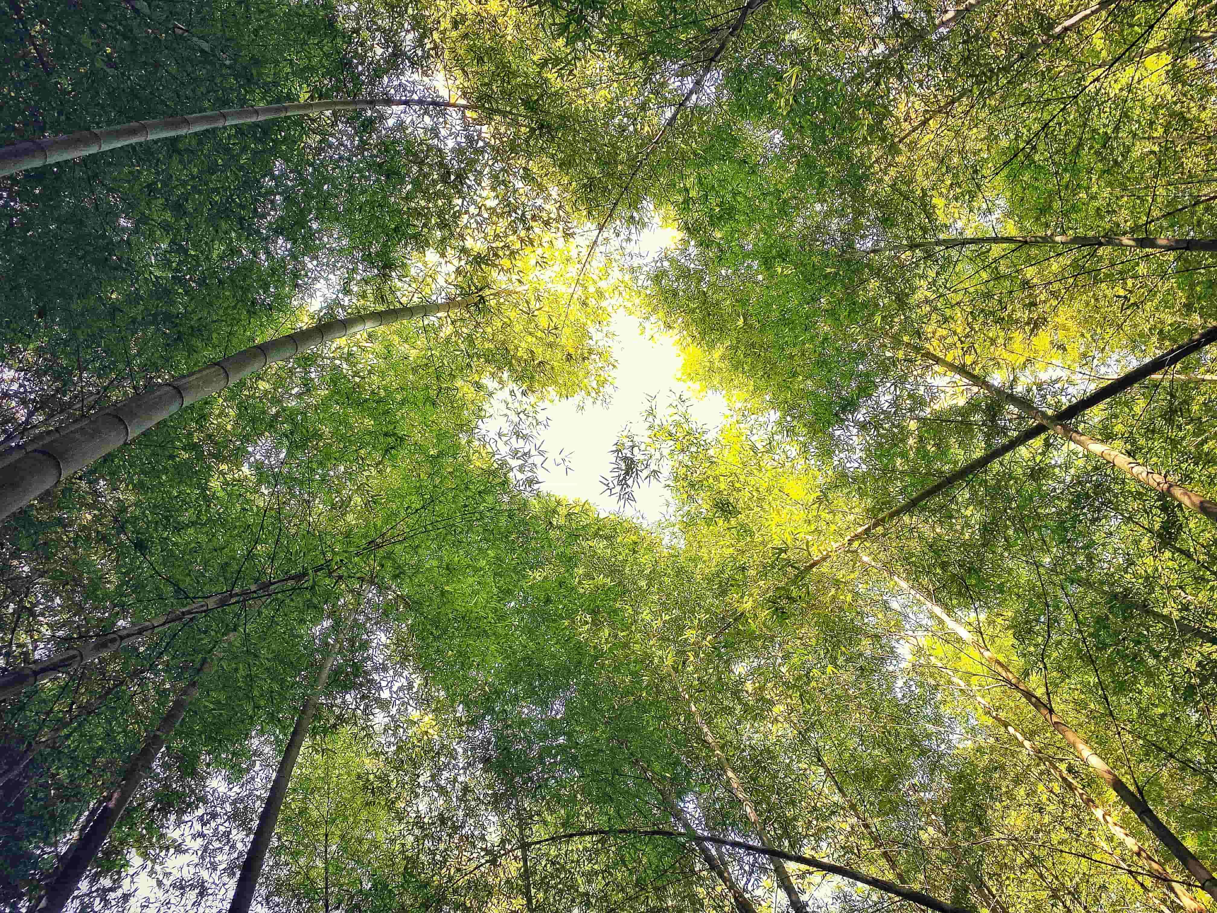 翠绿金黄的竹林