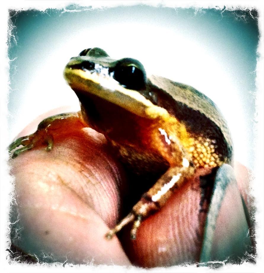 Chorus Frog (Pseudacris)