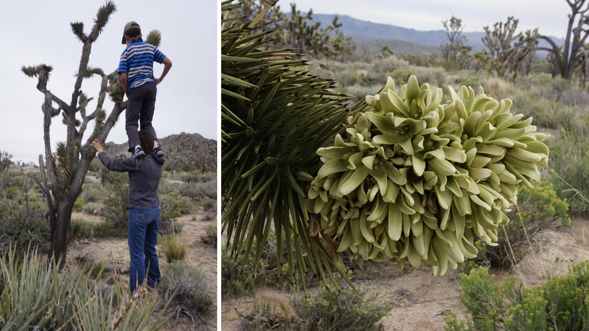 Picking a Joshua Tree flower and a close-up view of the bloom.