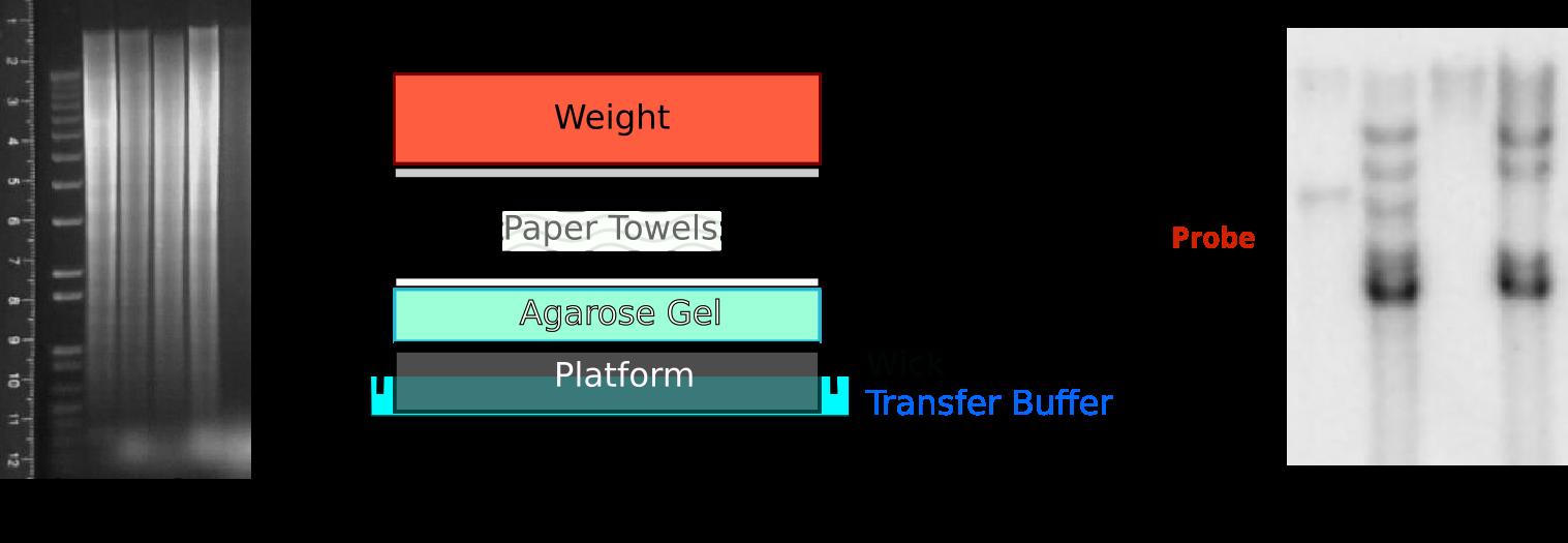 Southern Blot Workflow