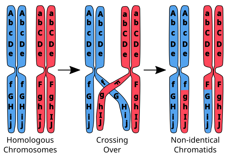 Chromosomal Crossing Over