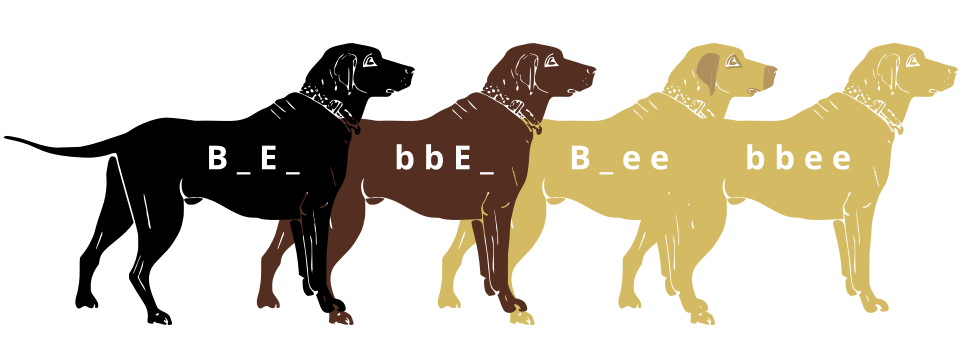 Labrador Retrievers black and yellow