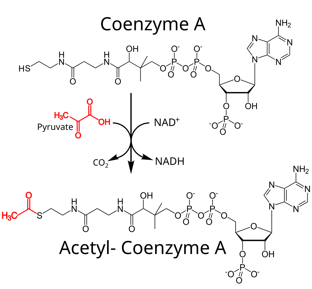 Acetyl-CoA production from CoA